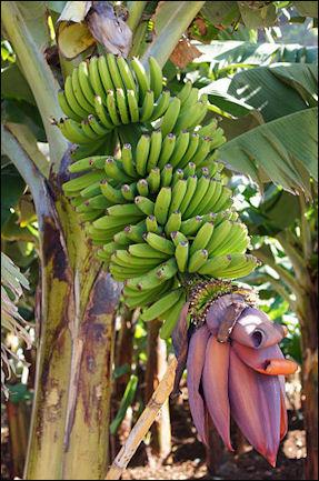 20120525-bananas_Madeira_331_Jardim_do_Mar.jpg