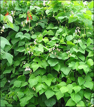 Egyptian Bean Plant http://factsanddetails.com/world.php?itemid=1579&subcatid=343