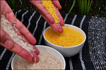 20120525-rice Golden Rice.jpg