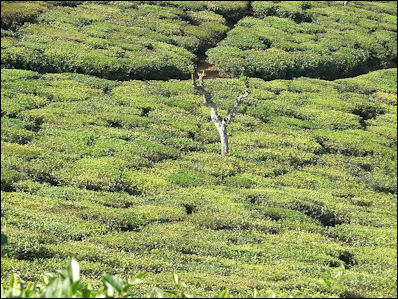 20120526-Tea_plantation_in_India02.jpg