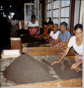 TEA CULTIVATION AND PRODUCTION | Facts and Details