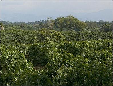 coffee plants