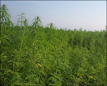 20120527-cannabis Industrialhemp.jpg