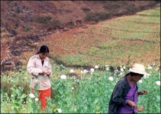 20120528-Opium_harvesters2.jpg