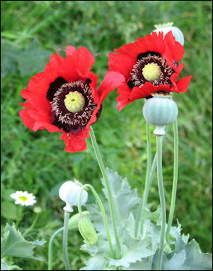 20120528-opium poppies_gone wild.jpg