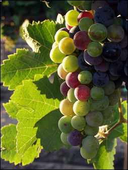 20120528-wine Grapes_during_pigmentation.jpg