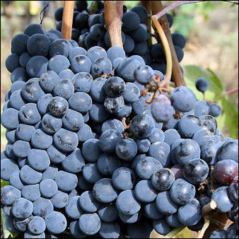 20120528-wine Italian -Sangiovese grapes_for_chianti.jpg