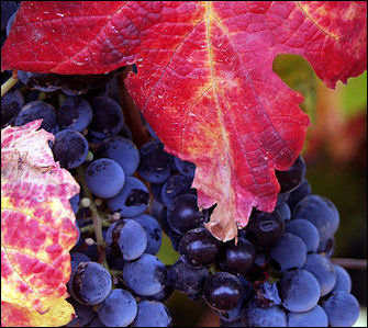 20120528-wine grapes.jpg