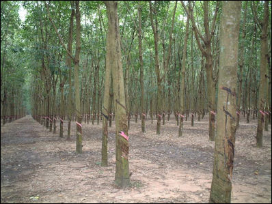 20120531-Rubber_tree_Viet_nam.JPG