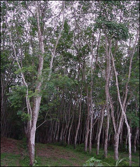 20120531-Rubber_tree_plantation.JPG