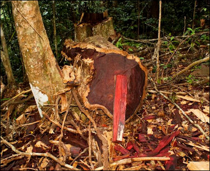 Illegal Logging And The Rainforest Facts And Details