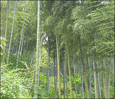 20120601-450px-Anji_bamboo_forest.jpg