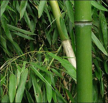 20120601-450px-Bamboo_DSCN2465.jpg