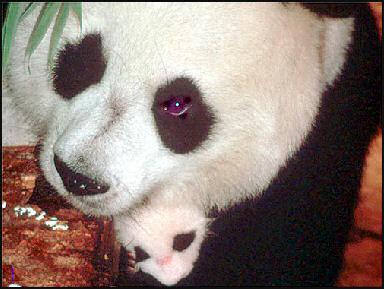 20080318-pandaWWf10.jpg