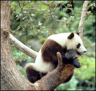 20080318-pandaWWf11.jpg