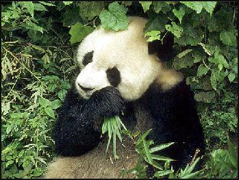 20080318-pandaWWf8.jpg