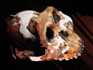 20120202-Paranthropus_boisei_side_(University_of_Zurich).JPG