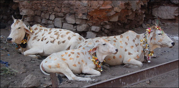20120502-Cows_decorated_for_Diwali.jpg