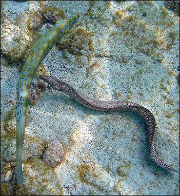 20120517-800px-Moray_eel_and_fish.jpg
