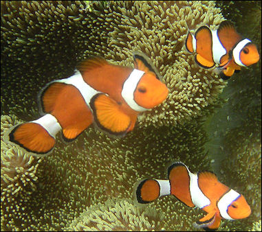 20120517-800px-Ocellaris_clownfish.jpg
