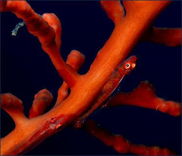 20120517-800px-Pleurosicya_mossambica_(Coral_gobies)_on_soft_coral.jpg