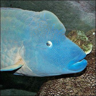 20120517-Humphead_wrasse_melb_aquarium.jpg