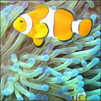 20120517-Reef_FishCommon_clownfish.jpg