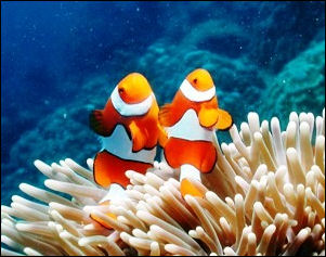 20120517-Reef_FishFalse_Clown_Anemonefish_Great_Barrier_Reef_Australia.jpg