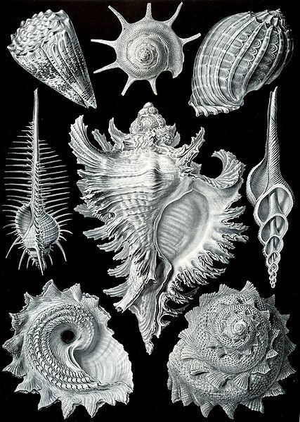 20120518-427px-Haeckel_Prosobranchia.jpg