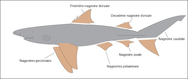 20120518-800px-Shark_finning_schema.png
