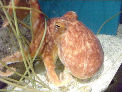 20120518-Octopus_in_sea_life_Helsinki.jpg