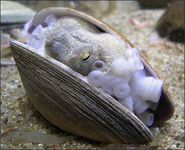 20120518-Octopus_in_the_shell.jpg