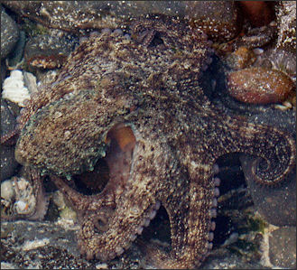 20120518-Octopus_new_south_wales.jpg