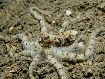 20120518-Octopus_sp_Timor.jpg