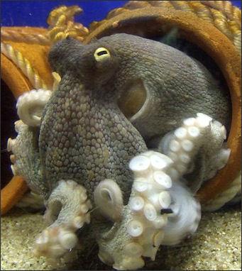 20120518-Octopus_vulgaris.jpg