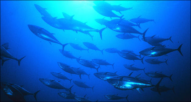 20120521-800px-Group_of_tuna.jpg