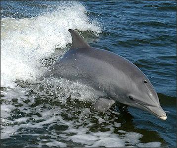 20120522-Bottlenose_Dolphin_KSC04pd0178.jpg
