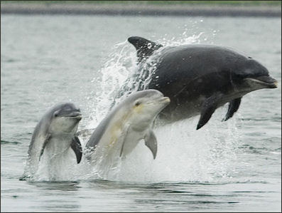 20120522-Bottlenose_dolphin_with_young.JPG
