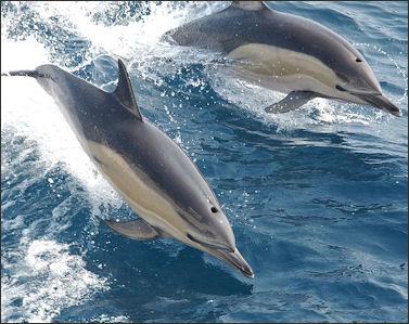 20120522-Common_dolphin_noaa.jpg