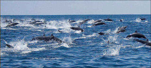 20120522-Spinner_Dolphin_right_off_the_coast_of_Carrillo.jpg