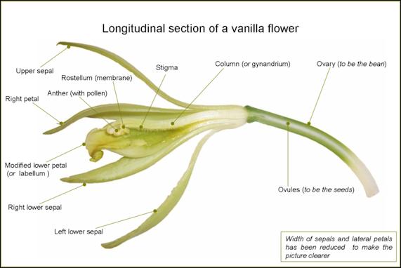 20120525-800px-VanillaFlowerLongitudinalSection-en.png
