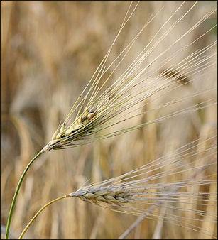 20120525-Barley_fruit.jpg