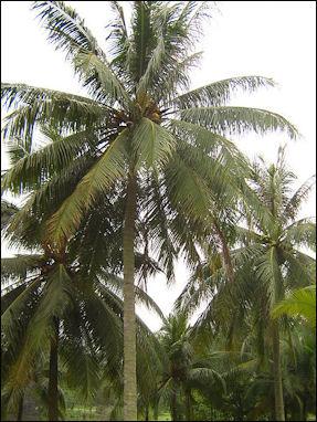 20120525-CoconutsSingapore_coconut.jpg