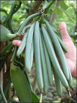 20120525-Vanilla_beans.jpg