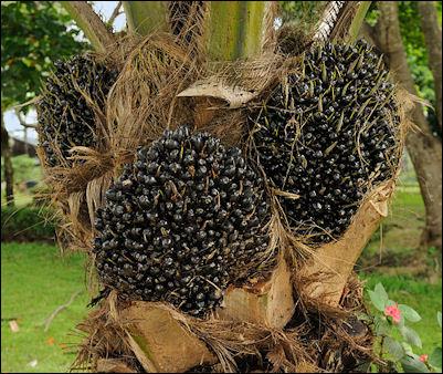 20120525-palm_fruit_Portoviejo_Ecuador.jpg