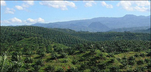 20120525-palm_plantation_in_Cigudeg-03.jpg