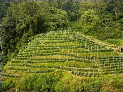 20120526-Malaysia-tea_plantation.jpg