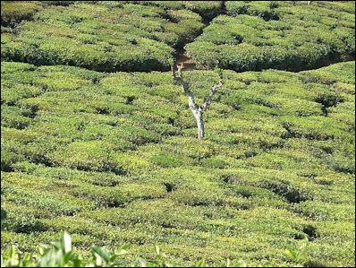 20120526-Tea_plantation_in_India02.jpg