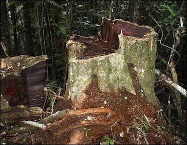 20120531-Illegal_logging_of_rosewood_001.jpg