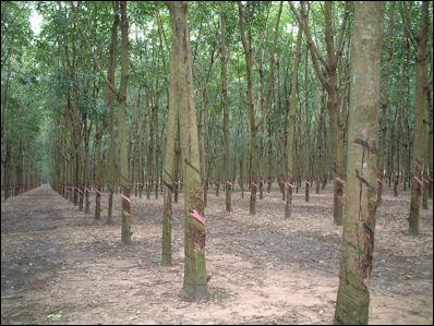 20120531-Rubber_tree_Viet_nam.JPG
